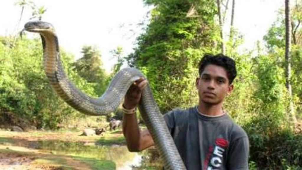Foto: Penemuan Ular King Cobra 'Raksasa' dari Penjuru Dunia