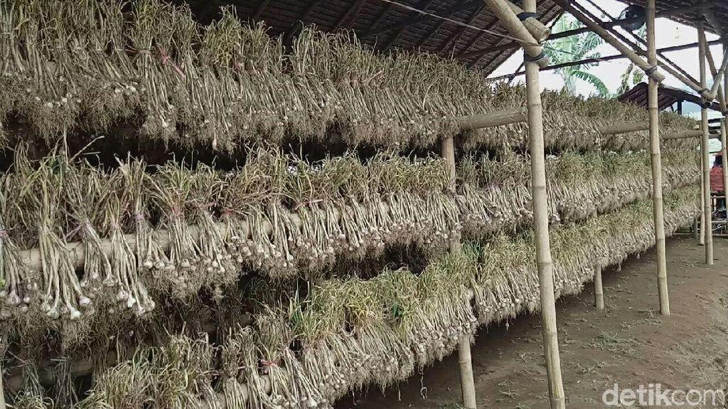 Mentan Panen 15 Ton Bawang Putih di Banyuwangi