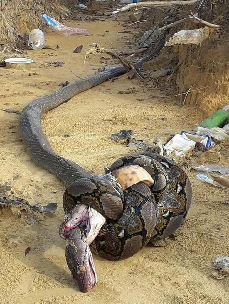 Ular King Cobra , Serem gan