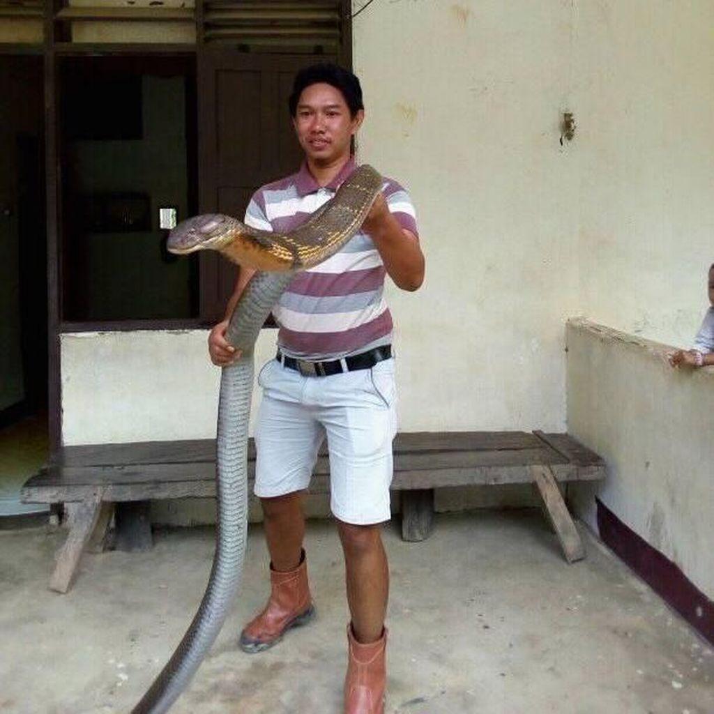 Tentang Ular King Cobra Raksasa yang Bikin Heboh di Medsos