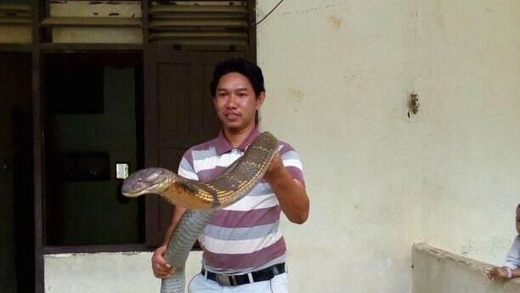Ini King Cobra Raksasa yang Viral dan Bikin Penasaran