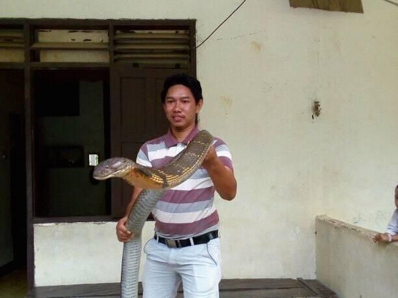 Ular King Cobra Raksasa Bikin Heboh, Taringnya Dipatahkan?