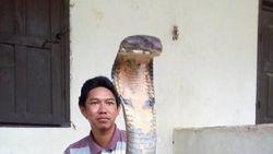 Angle Foto Bikin King Cobra di Kalimantan Terlihat Raksasa