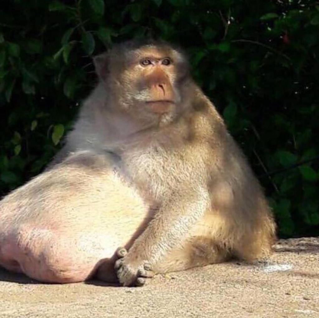 Deretan Hewan yang Obesitas: King Cobra Raksasa hingga Buaya Kojek