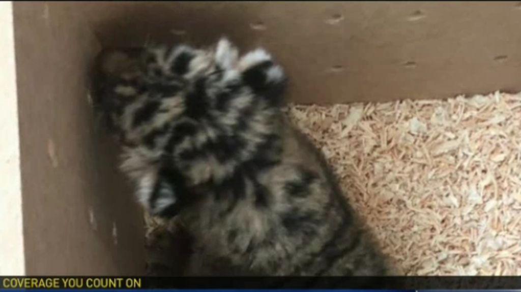 Bayi Harimau dan Jaguar Hitam Diselundupkan dalam Kotak ke AS