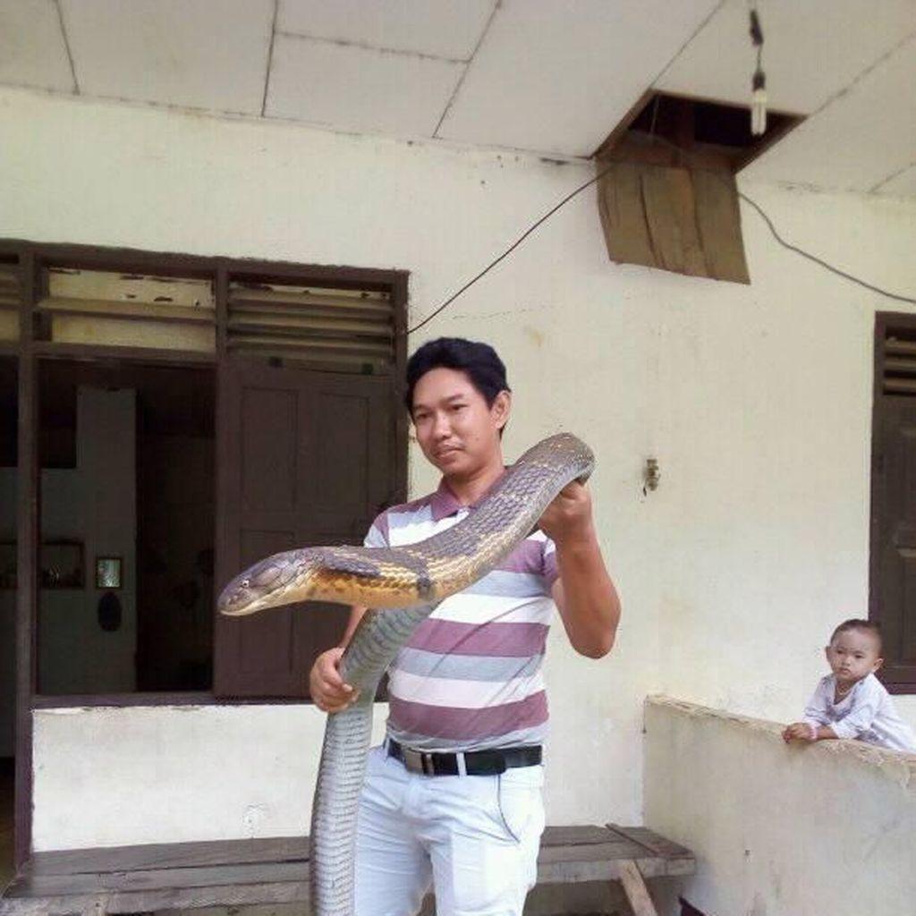 Detik-detik Pelepasan Ular King Cobra Raksasa ke Alam