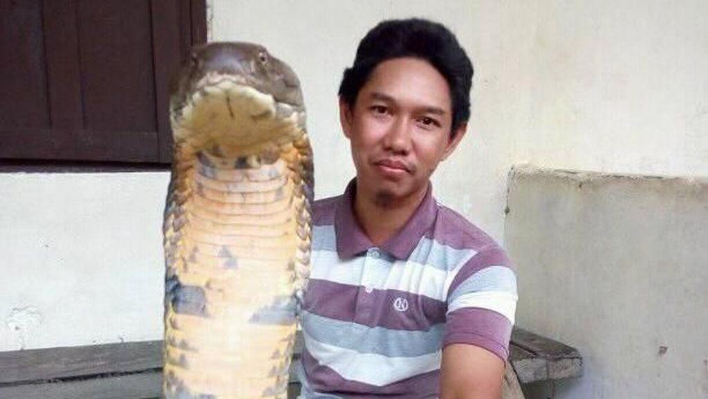 Cerita di Balik Gaya Santai Pria yang Pegang King Cobra 'Raksasa'