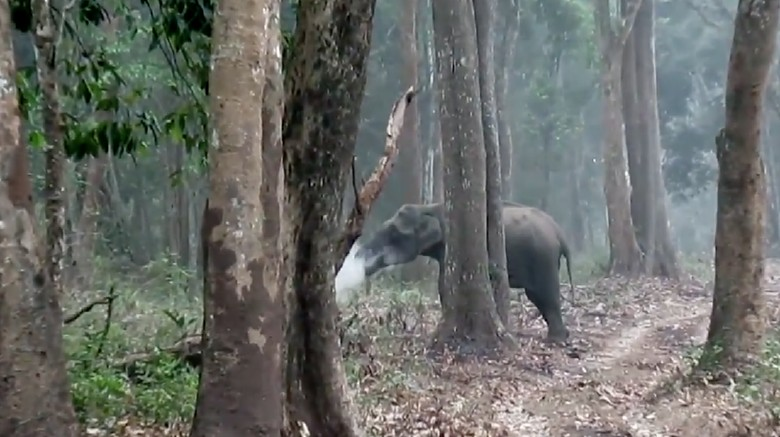 Gajah di India Tertangkap Kamera Sedang 'Merokok'