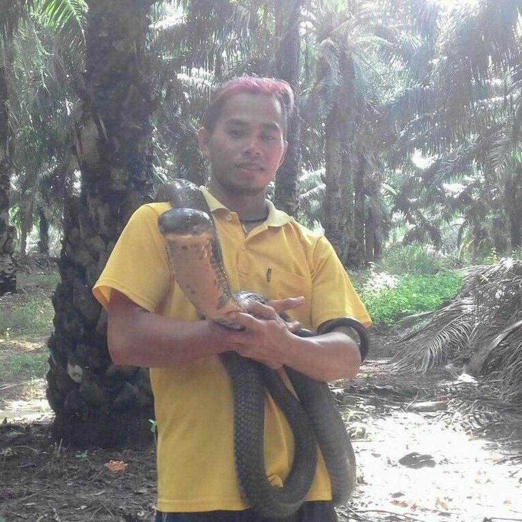 Ular King Cobra Raksasa yang Viral Akhirnya Dilepas ke Alam
