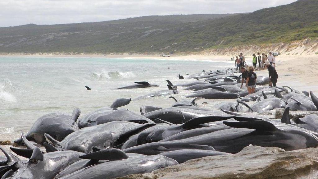 Bikin Iba! Ratusan Paus Terdampar di Pantai Australia