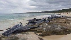 Ratusan Ikan Paus Terdampar di Australia Barat
