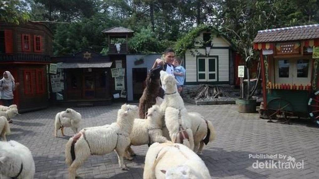 Ke Mana Weekend Ini, Ada Biri-biri Lucu di Lembang