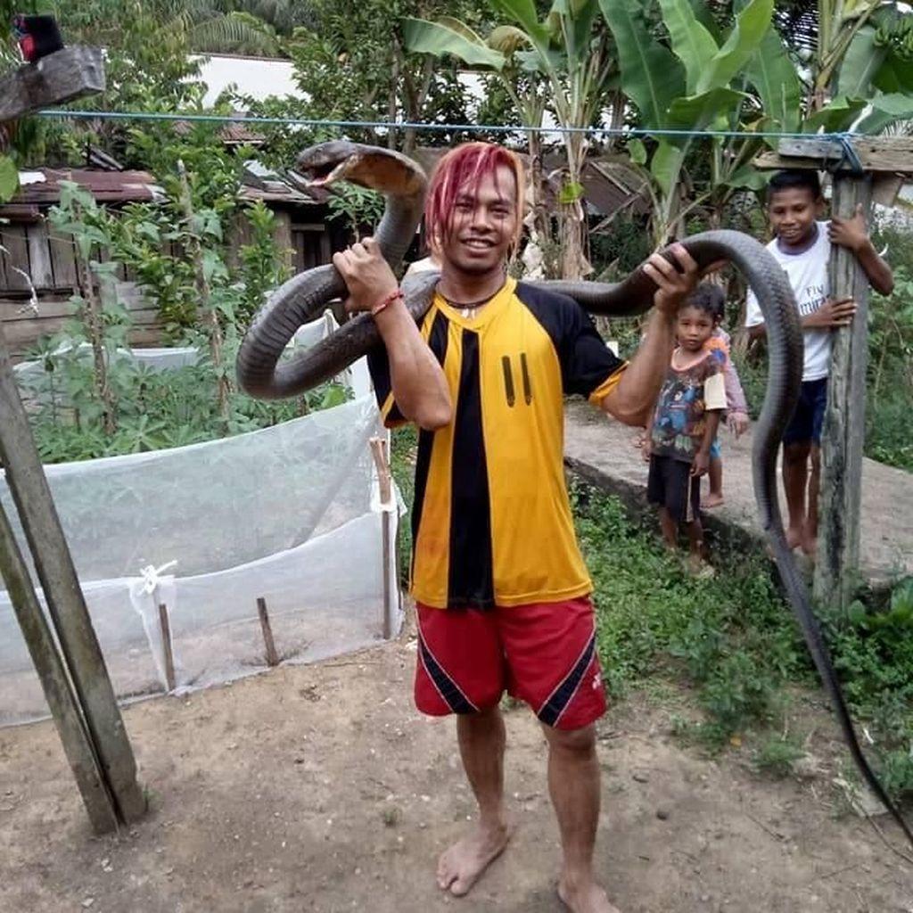 Begini Cerita Edy Taklukkan King Cobra Raksasa di Kalimantan