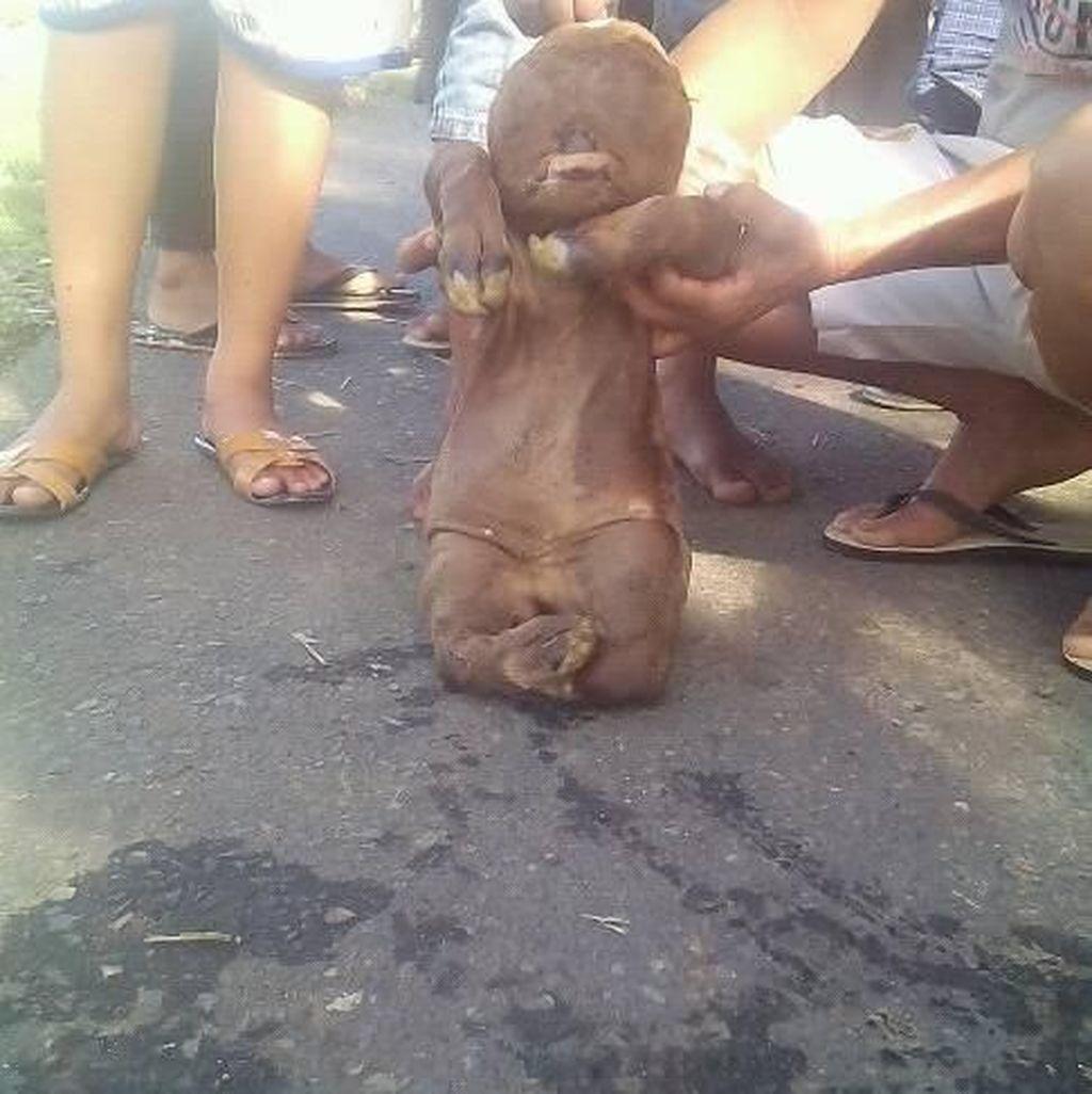 Heboh Anak Sapi Mirip Manusia Lahir di Gorontalo