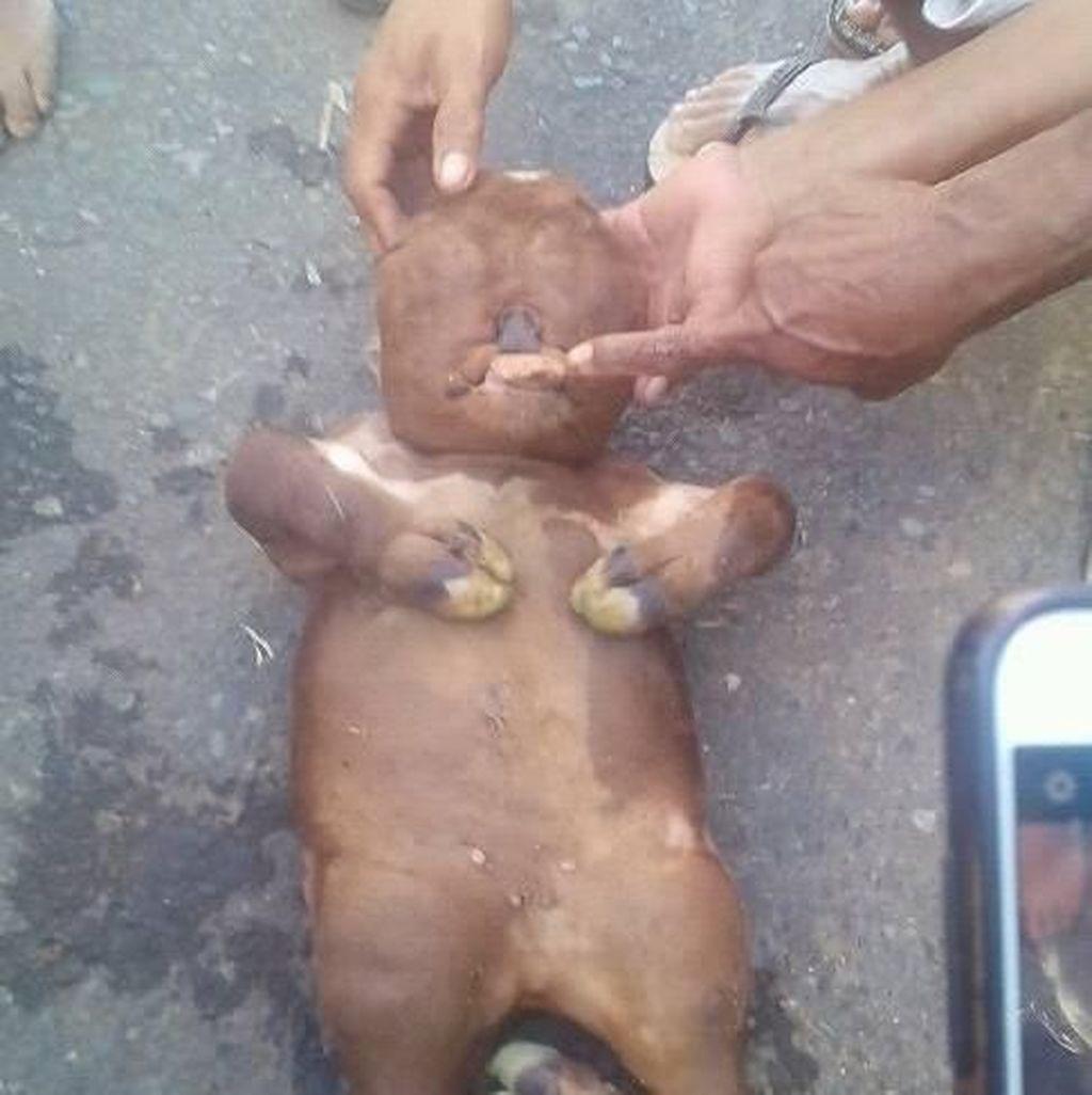 Warga Ungkap Keganjilan Sapi Mirip Manusia di Gorontalo
