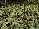 600 Hektare Lahan Terimbas Gas Beracun Kawah Ijen, Tanaman Menguning