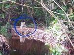 BKSDA Riau Heran Harimau Bonita Santai di Dalam Box Trap