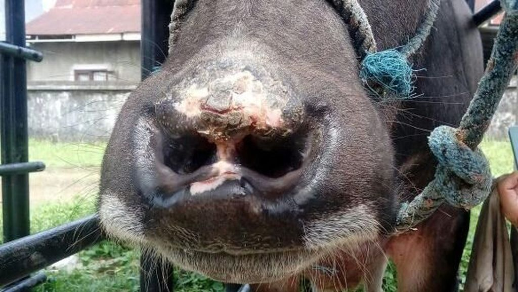 Ada-ada Saja, Kerbau Toraja Jalani Operasi Hidung agar Menawan