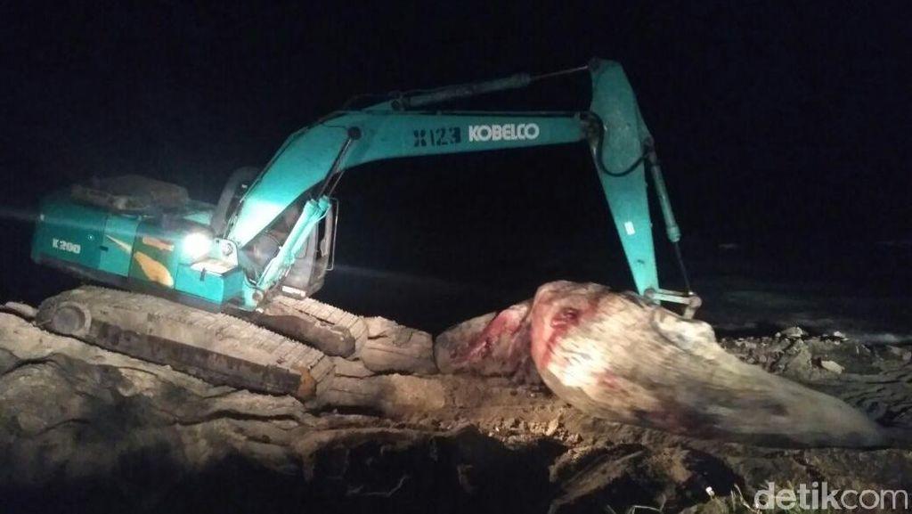 Pakai Ekskavator, Paus yang Terdampar di Lombok Timur Dikubur