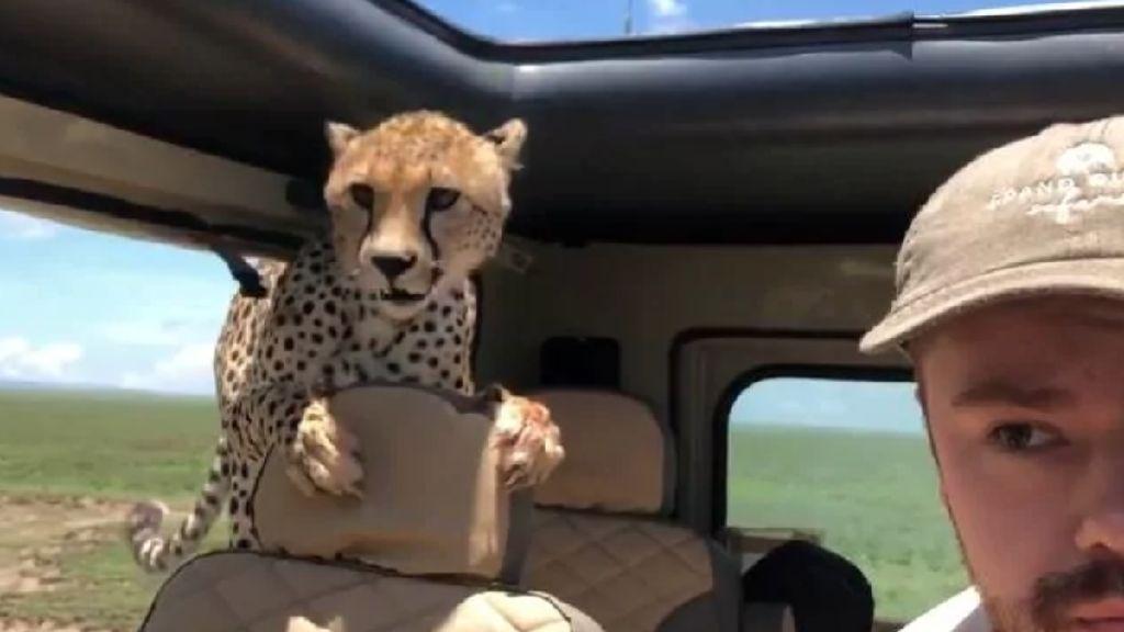 Menegangkan! Seekor Cheetah Masuk ke Mobil Turis di Afrika