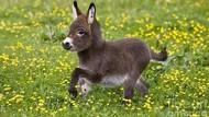 Bikin Gemes Tingkah Polah Bayi Keledai Ini