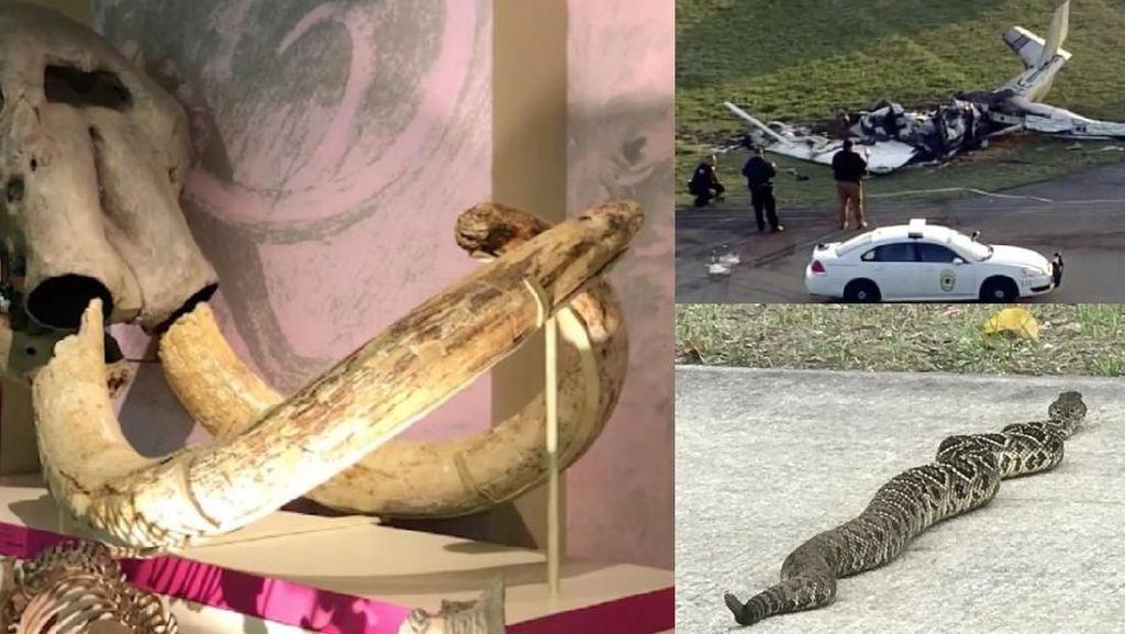 Riuh Dunia dalam Gambar: Ular Derik Mematikan, Fosil Mastodon