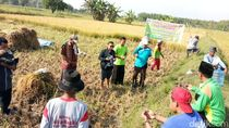 Sempat Dicemooh, Padi Organik Karya Pemuda Tani Sukses Panen Perdana