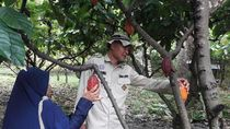 Jokowi Bagi Sertifikat Tanah, Panen Cokelat Jadi Naik 2 Ton/Ha