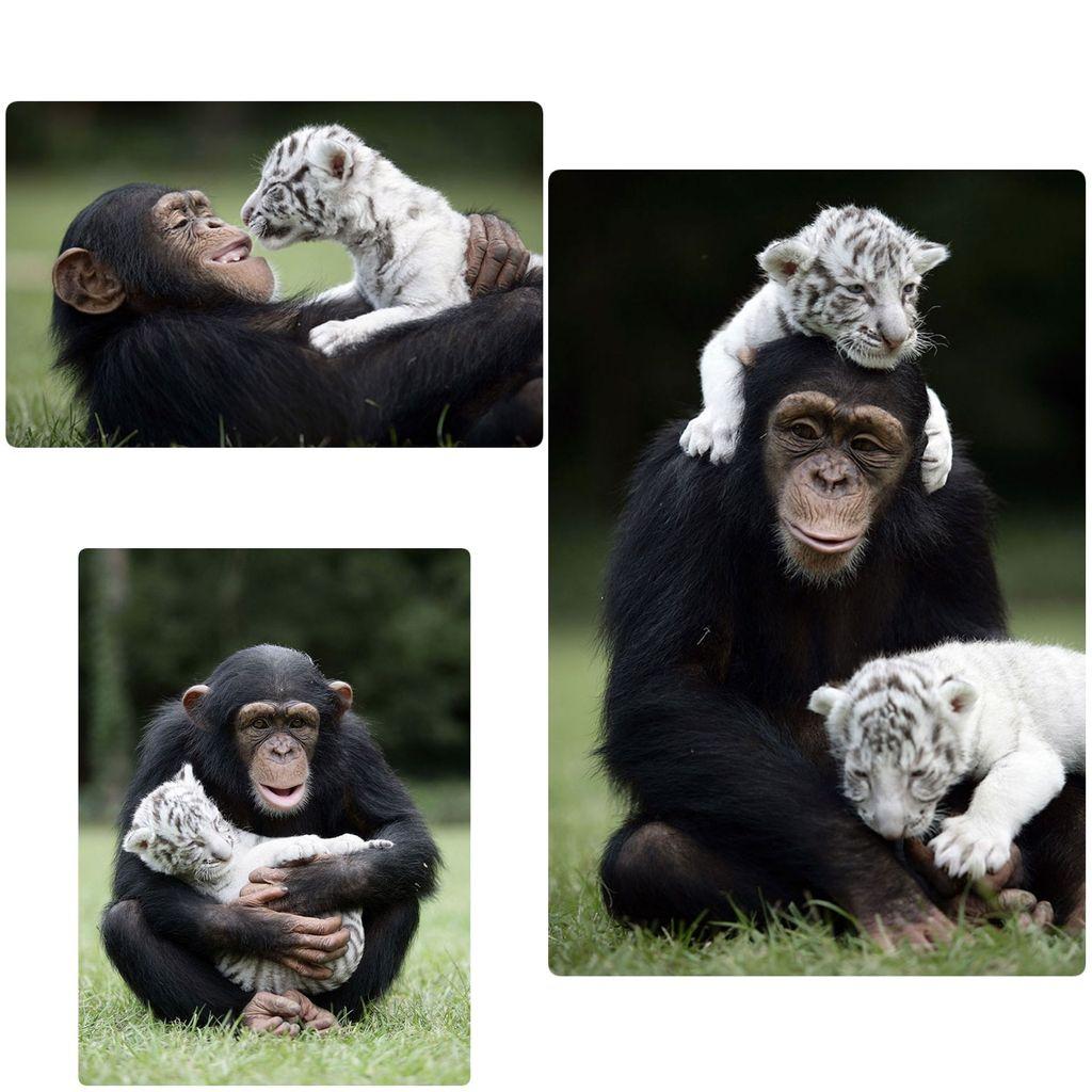 Ketika simpanse dan anak harimau putih bercengkrama. (Foto: Boredpanda)