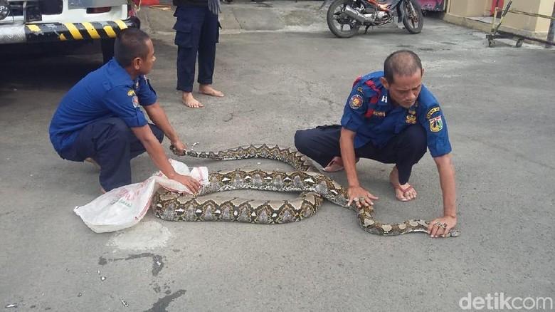 Piton 7 Meter di Jantung Kota Jakarta