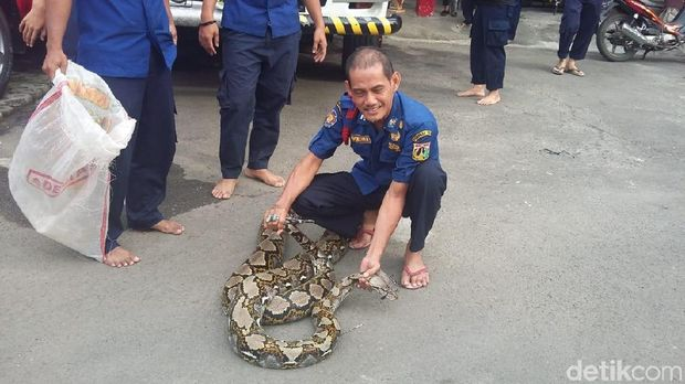 Aksi Firmansyah saat 'menaklukkan' ular piton.