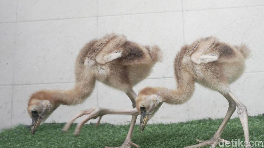 Taman Safari Berhasil Tetaskan Sepasang Jenjang Mahkota Hitam