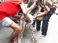 Proses penangkapan piton 7 meter di Kebon Kacang, Tanah Abang, Jakarta Pusat.