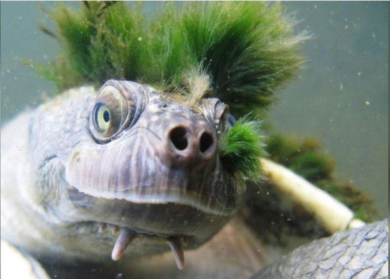 Ciri lainnya adalah adanya dua tonjolan lancip di bawah dagunya. Kura-kura ini juga bernapas melalui alat kelaminnya dan baru masuk dalam daftar reptil yang terancam punah (CNN)