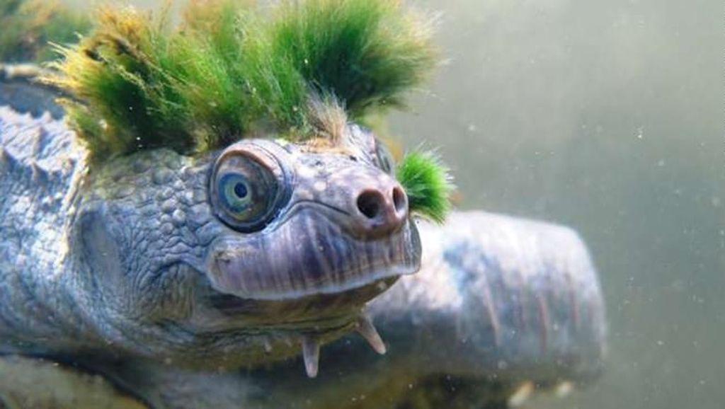 Kura-kura Ajaib Australia, Rambutnya Punk, Nafasnya dari Pantat