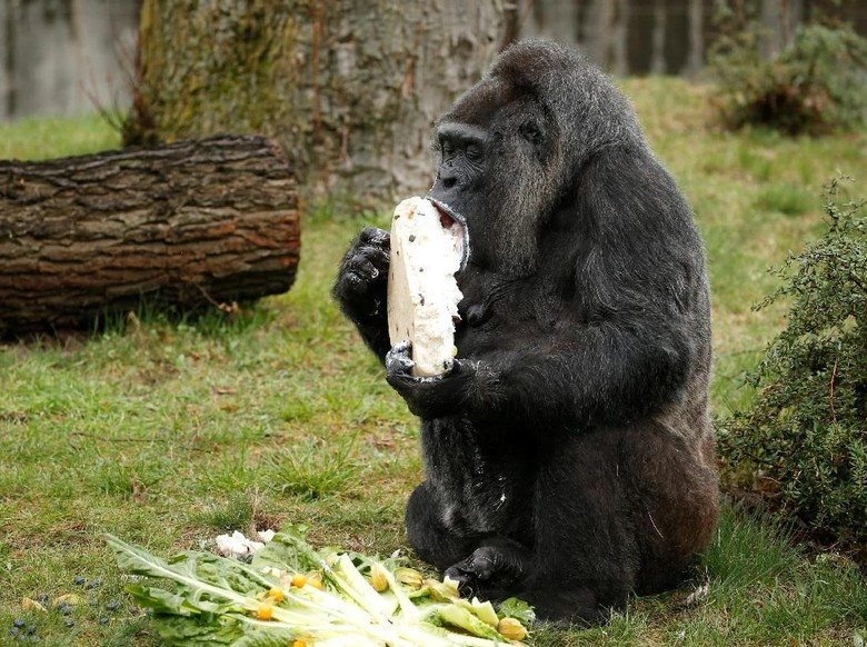 Ulang Tahun ke-61, Gorila Ini Dapat Kue Ulang Tahun