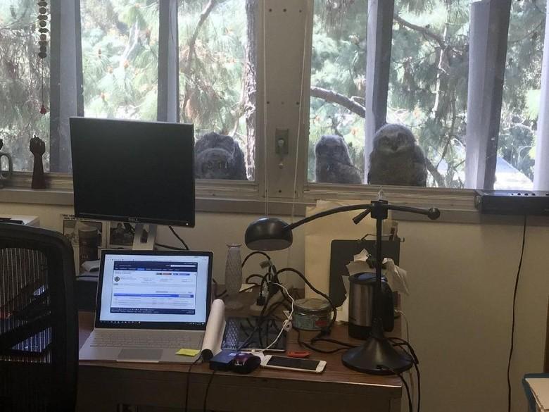 Viral Foto Burung Hantu Memelototi Pekerja dari Balik Jendela