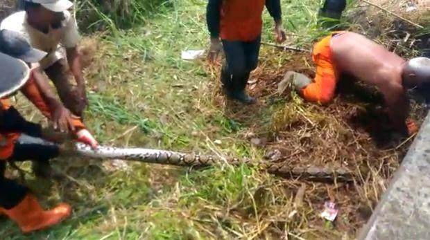 Bulan sebelumnya, petugas juga menemukan ular sanca di lokasi yang tak jauh