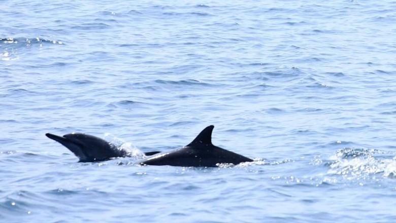 Lumba-lumba menggemaskan di perairan Pulau Pisang (Mercy Raya/detikTravel)