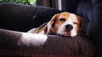 Foto: Benny, Anjing yang Bikin Heboh dan Dicari 1.000 Orang
