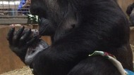 Foto: So Sweet! Momen Gorila Melahirkan dan Cium Bayinya