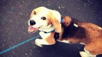 1.000 Orang dan Helikopter Cari Anjing Hilang di Selandia Baru