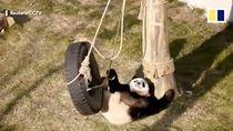 Foto: Hubungan Benci Tapi Cinta Panda di China dengan Ayunan