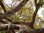 Beringin 700 Tahun Ini Terpaksa Diinfus untuk Tangkal Rayap