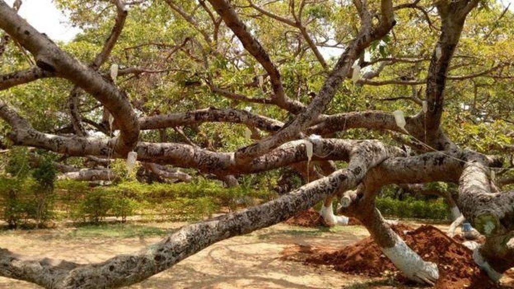 Pohon Beringin 700 Tahun di India Terancam Serangan Serangga
