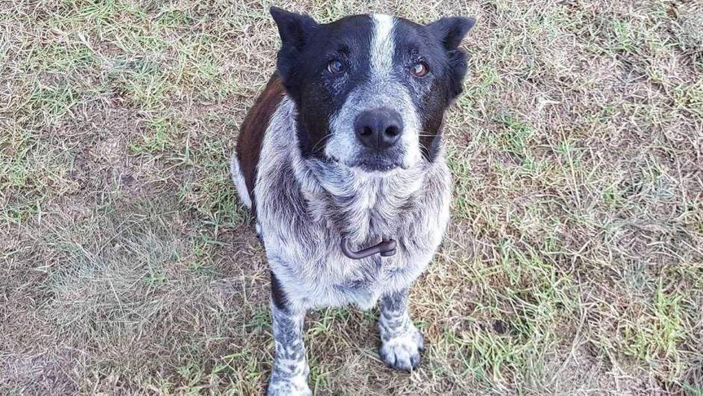 Bantu Temukan Bocah Hilang, Anjing Australia Terima Kehormatan