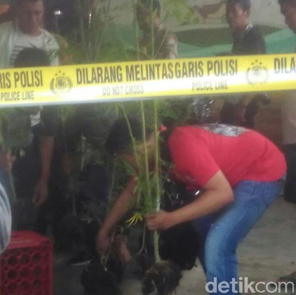Kebun Ganja di Malang Berhasil Dibongkar
