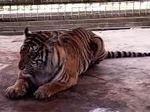 Wah! Harimau Bonita Ingin Dimanja dan Bisa Diajak Bercanda