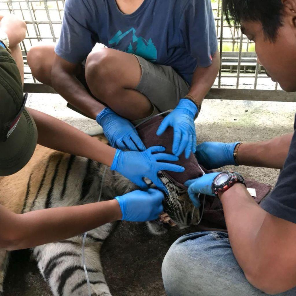 Harimau Bonita Jalani Operasi Tumor di Perutnya