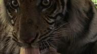 Ada Bekas Potongan Aneh di Telinga Harimau Bonita